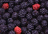 Blackberries.bowl.sml.jpg (56063 bytes)