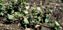 Common-chickweed-in-flower.jpg (23663 bytes)