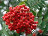 mountain-ash.berries.sml..jpg (41713 bytes)